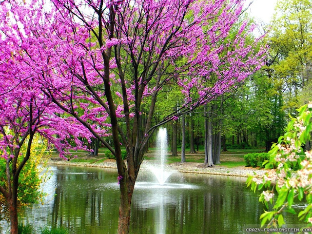Beautiful spring day with pink trees.
